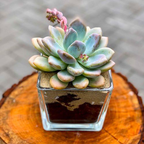 Terariu Cub de Sticla cu Planta Suculenta
