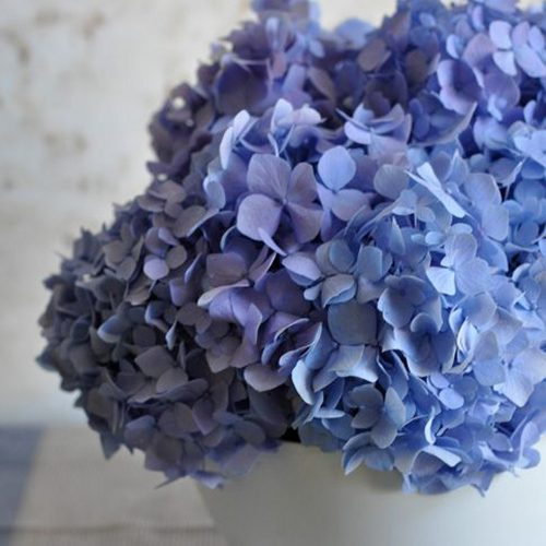 Hortensii Albastre Pentru Acasa